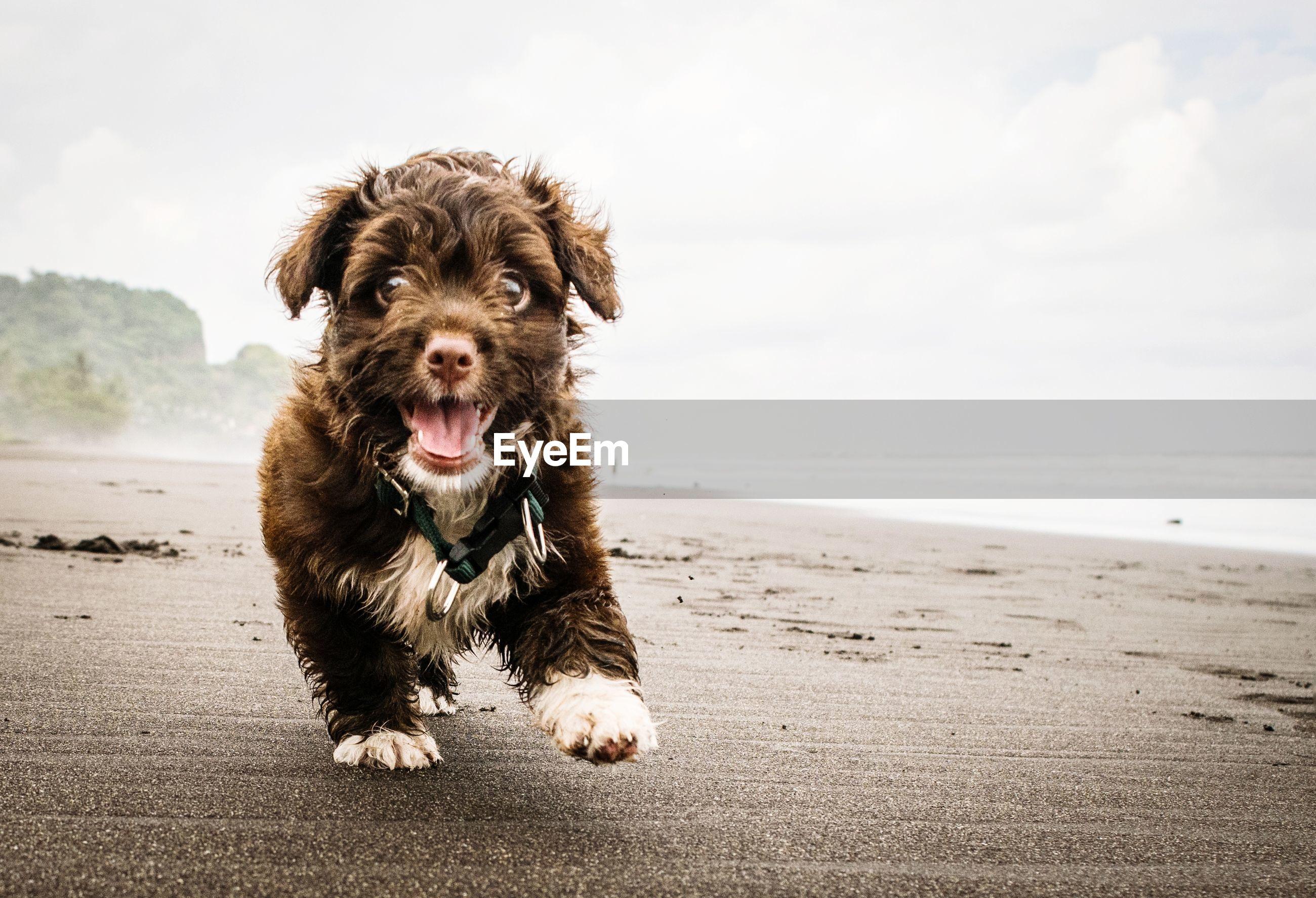 Portrait of dog walking at beach
