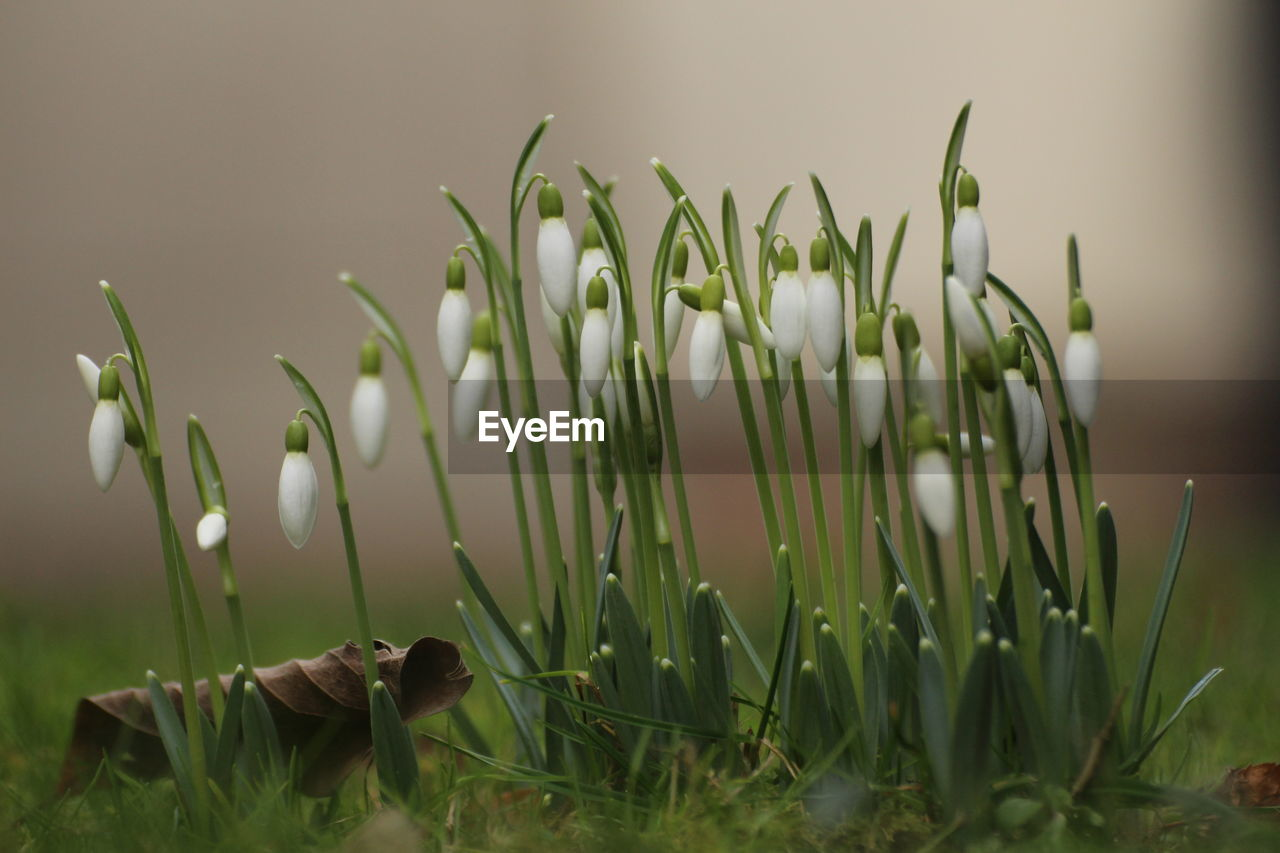 growth, plant, beauty in nature, close-up, green color, nature, land, field, no people, vulnerability, fragility, freshness, day, flower, flowering plant, selective focus, focus on foreground, grass, snowdrop, outdoors, blade of grass