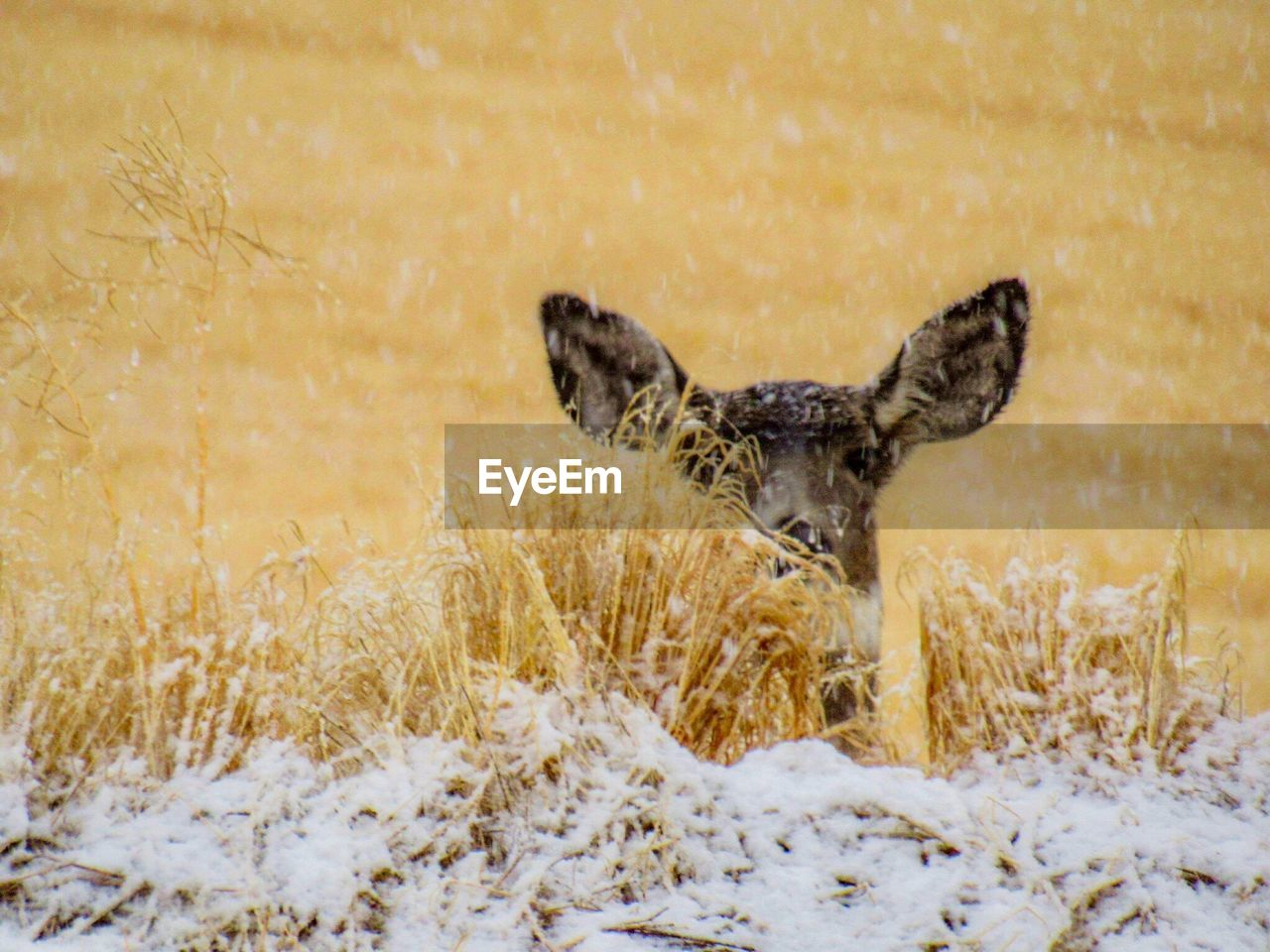 one animal, snow, cold temperature, winter, animal themes, nature, animals in the wild, field, animal wildlife, outdoors, no people, day, grass, mammal, bird, beauty in nature, spread wings