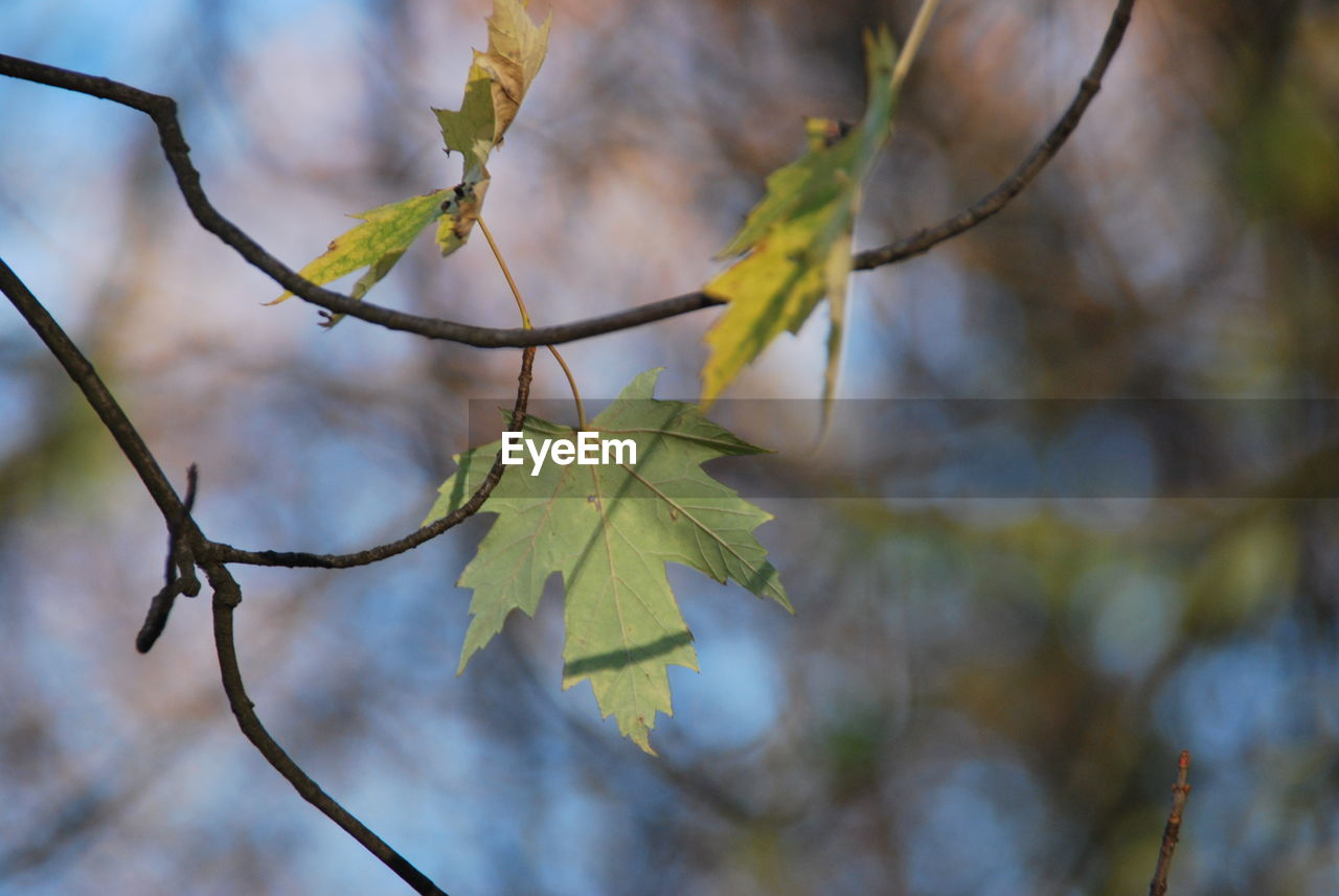leaf, plant part, plant, close-up, growth, focus on foreground, nature, beauty in nature, day, no people, tree, autumn, branch, selective focus, change, leaves, leaf vein, outdoors, twig, tranquility, maple leaf, natural condition