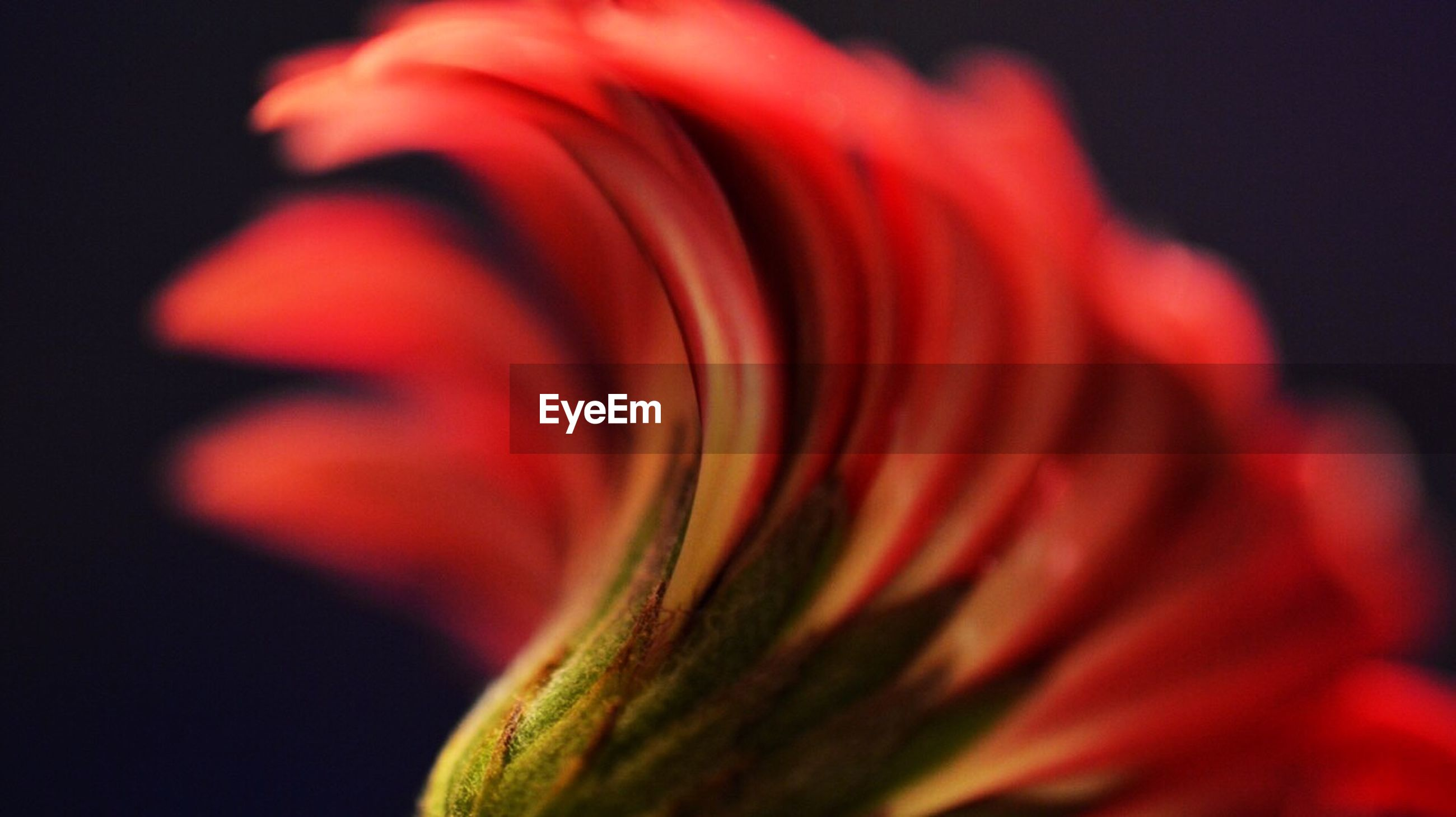 flower, fragility, petal, beauty in nature, freshness, red, flower head, nature, close-up, growth, no people, indoors, black background, day
