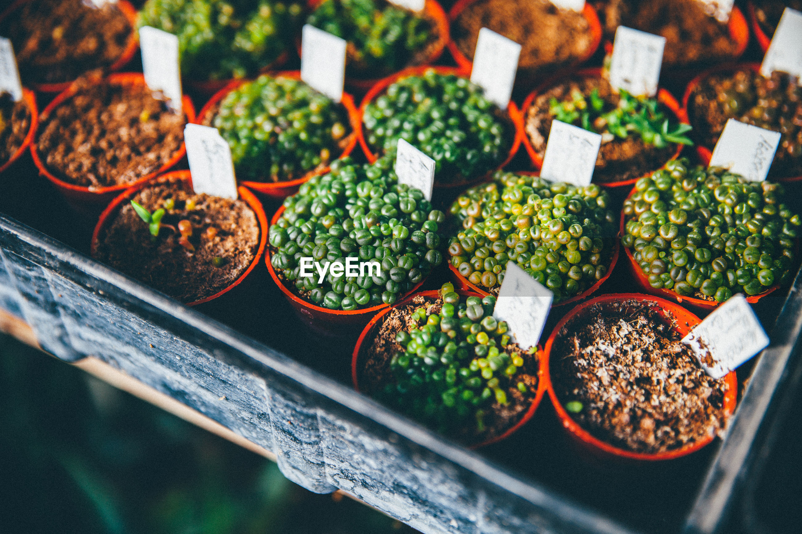 High angle view of potted succulent plant seedlings growing in greenhouse