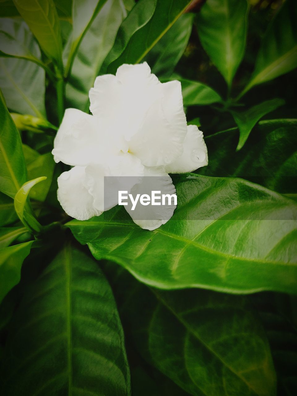 Growth Flower Petal Flower Head Freshness Close-up Blossom Nature In Bloom Single Flower Beauty In Nature White Flower White Flowering Trees White Flower On Green Background Flowers, Nature And Beauty Flower Photography Flower Collection Flowerlovers
