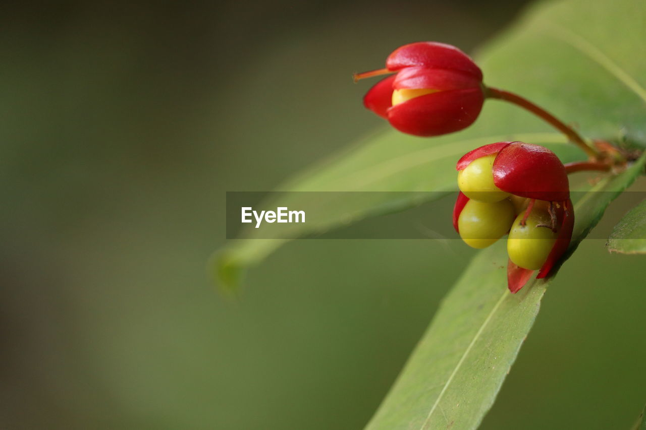 plant, growth, red, close-up, beauty in nature, plant part, freshness, leaf, nature, no people, focus on foreground, food, green color, food and drink, fruit, day, plant stem, flower, beginnings, outdoors
