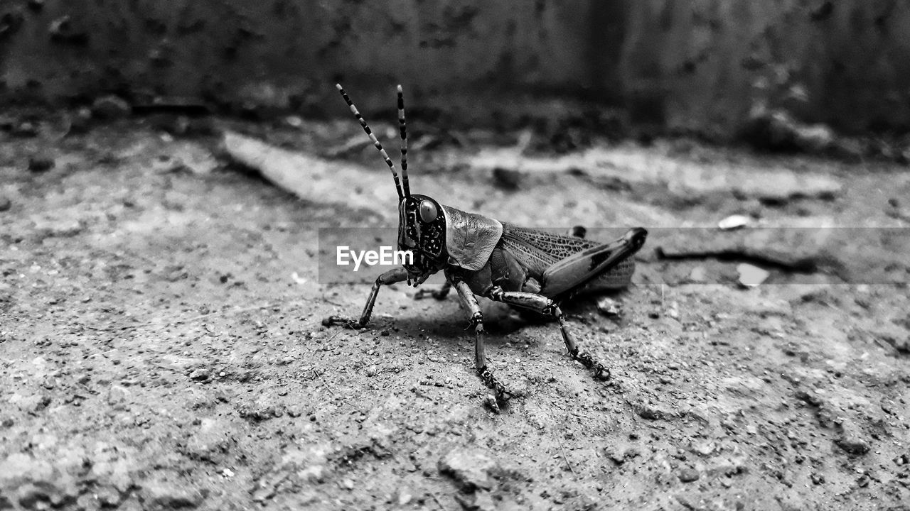 animal themes, animal wildlife, animals in the wild, animal, invertebrate, one animal, insect, selective focus, close-up, day, nature, no people, outdoors, focus on foreground, zoology, animal body part, animal wing, grasshopper, field, animal antenna