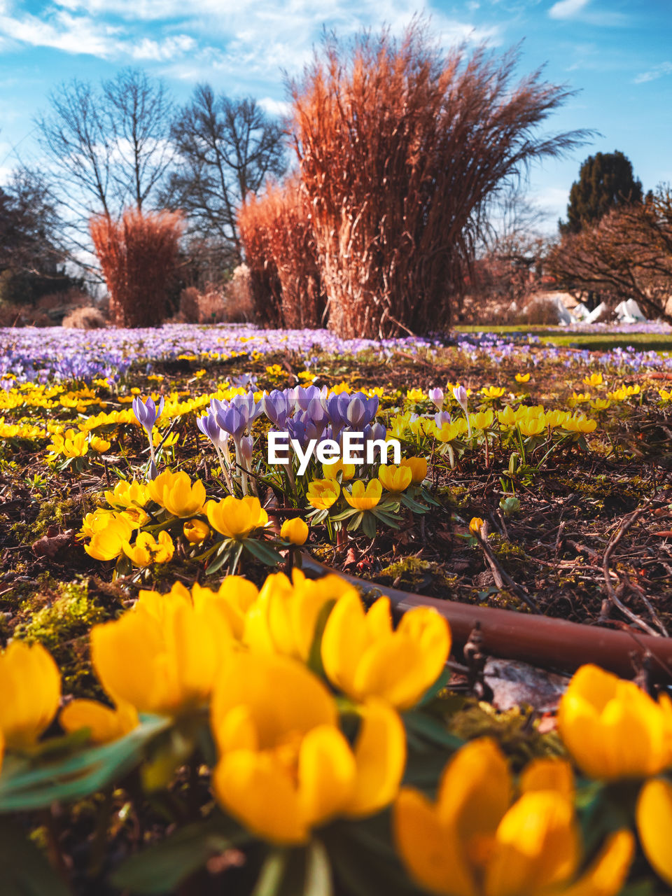 plant, flowering plant, flower, yellow, nature, growth, beauty in nature, land, tree, freshness, selective focus, field, day, fragility, sky, no people, vulnerability, landscape, outdoors, tranquility, springtime, flowerbed, flower head, crocus