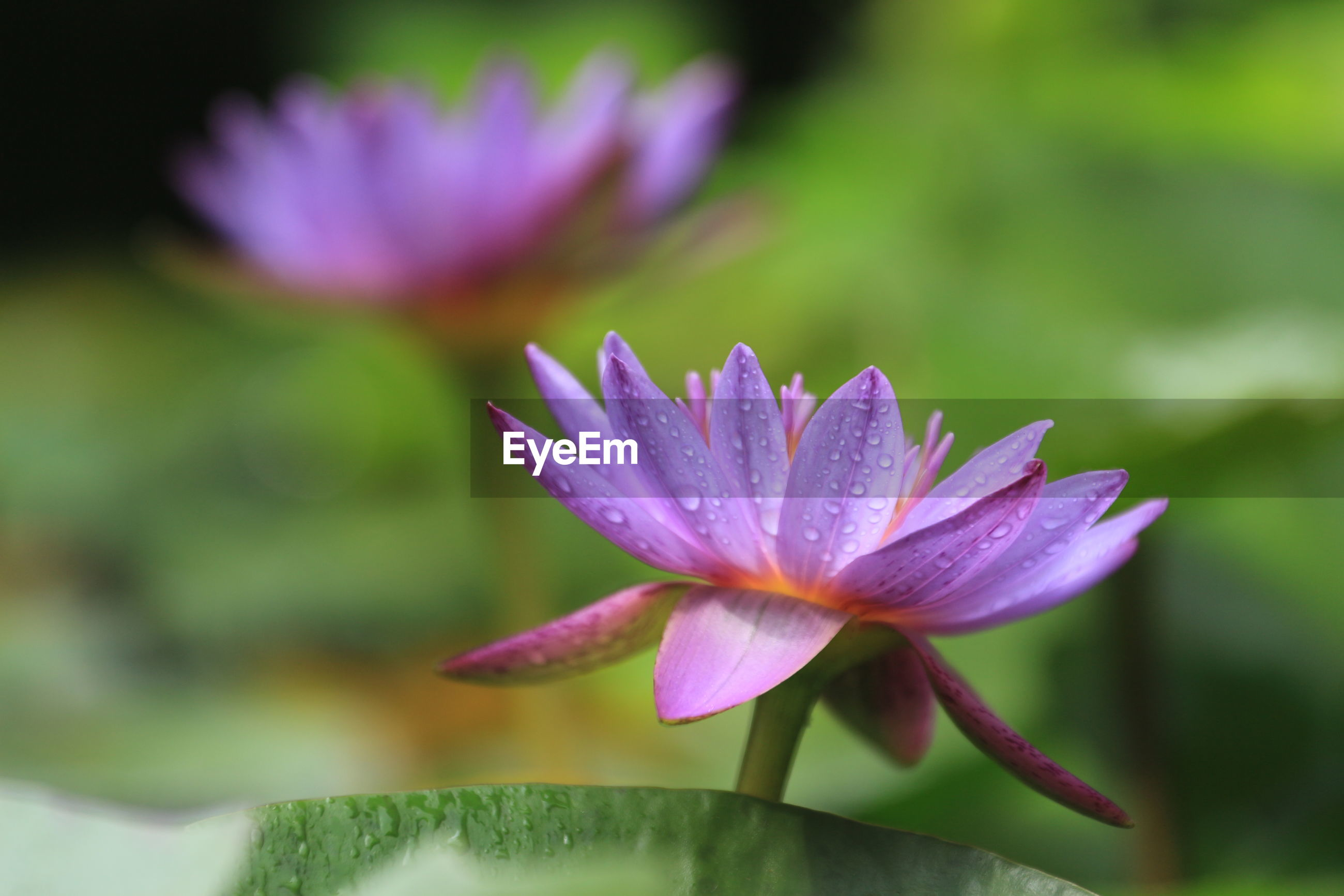 CLOSE-UP OF WATER LILY
