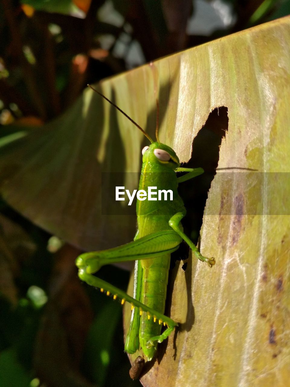 animals in the wild, animal wildlife, animal themes, green color, one animal, animal, insect, close-up, grasshopper, invertebrate, no people, plant part, leaf, day, nature, focus on foreground, outdoors, plant, vertebrate, zoology