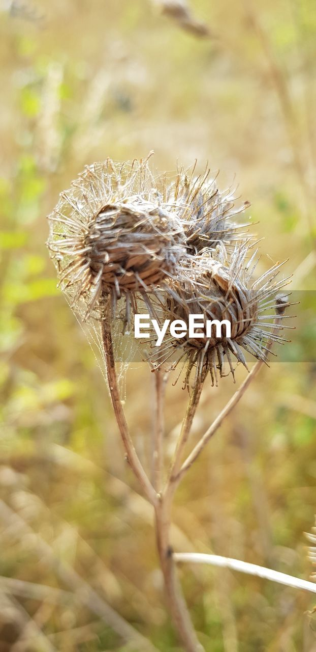plant, focus on foreground, close-up, nature, day, growth, no people, field, beauty in nature, land, dry, flower, outdoors, tranquility, plant stem, fragility, agriculture, vulnerability, crop, flowering plant, wilted plant, dead plant, dried