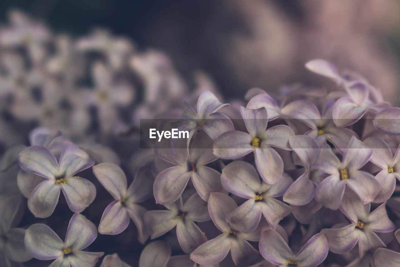 flower, beauty in nature, flowering plant, freshness, plant, growth, close-up, fragility, petal, vulnerability, flower head, inflorescence, nature, no people, outdoors, focus on foreground, day, botany, hydrangea, selective focus