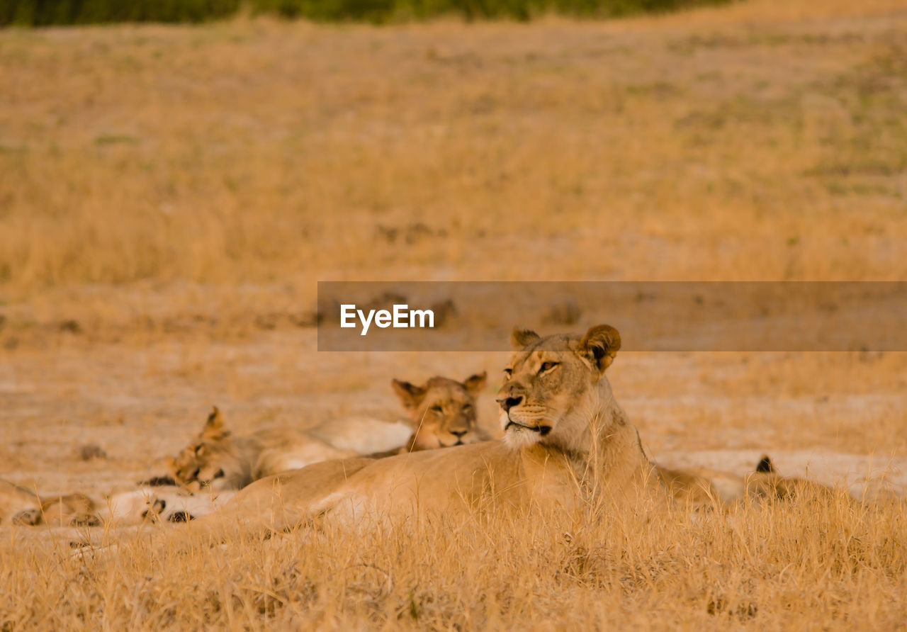 Lioness in the savannah of in zimbabwe, south africa