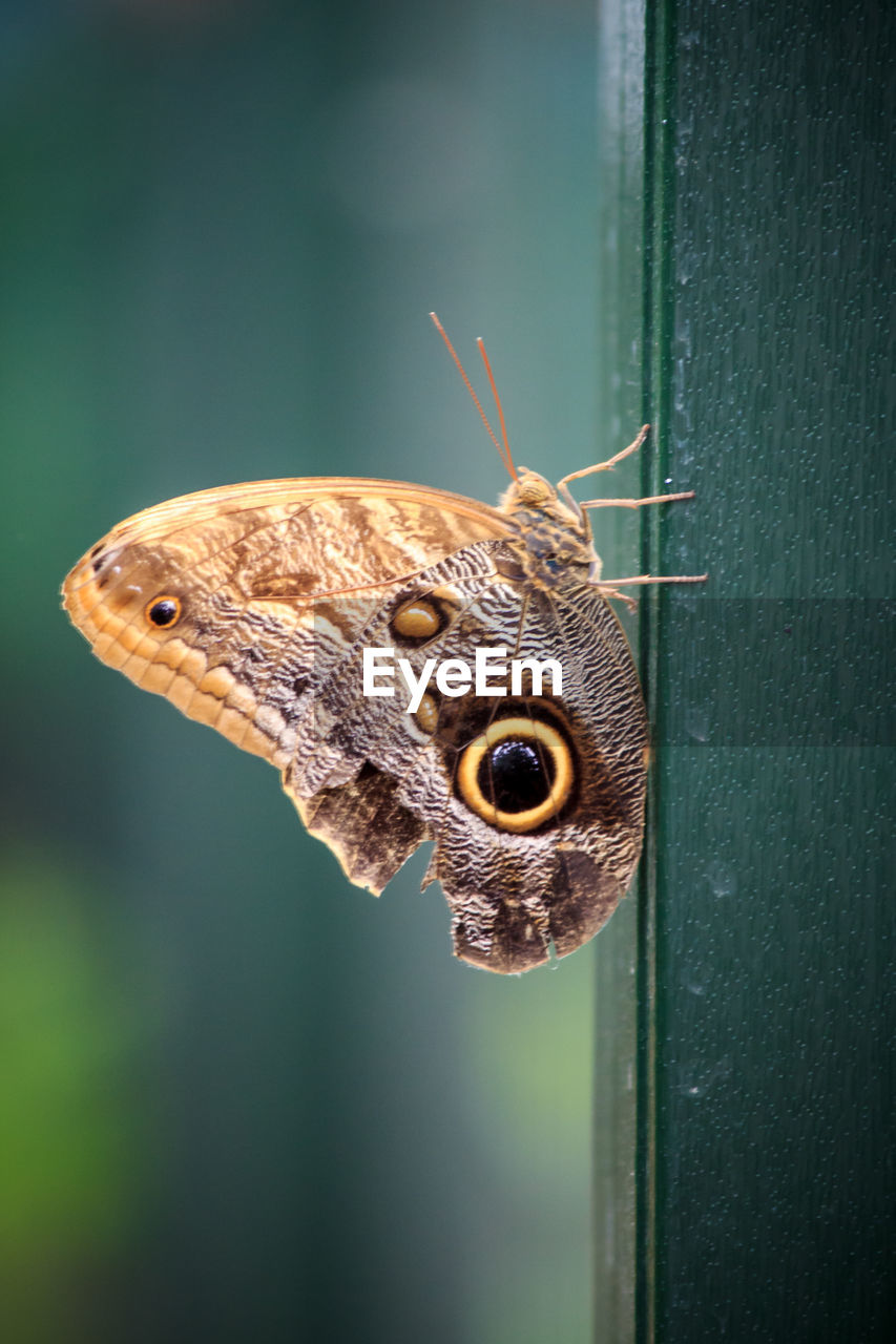 one animal, animal wildlife, animal themes, animals in the wild, animal, close-up, invertebrate, insect, focus on foreground, animal wing, selective focus, butterfly - insect, no people, brown, animal body part, day, beauty in nature, animal antenna, nature, moth, butterfly