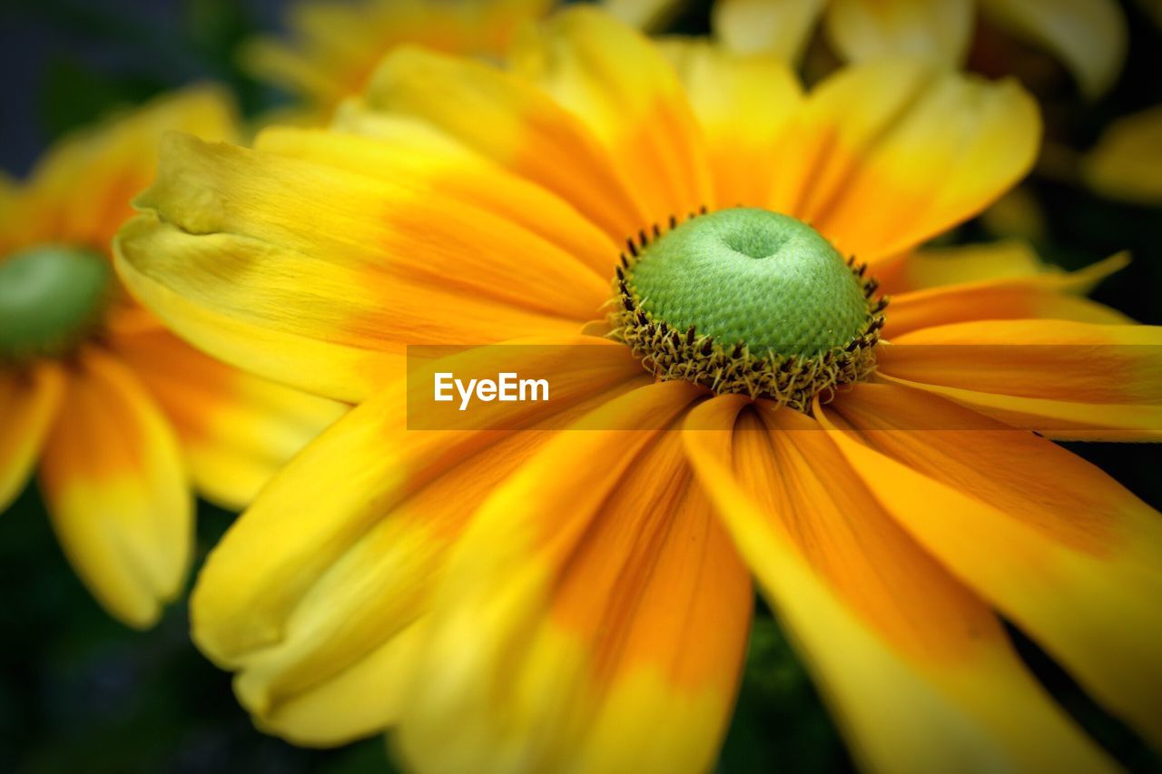 flower, petal, fragility, flower head, yellow, growth, freshness, no people, beauty in nature, plant, close-up, nature, pollen, blooming, day, outdoors, black-eyed susan