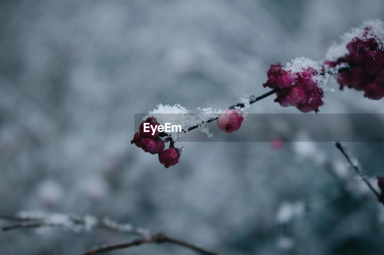 fruit, red, berry fruit, winter, cold temperature, nature, snow, rose hip, outdoors, beauty in nature, frozen, focus on foreground, food and drink, day, growth, twig, freshness, rowanberry, frost, close-up, wild rose, tree, no people, plant, food, branch