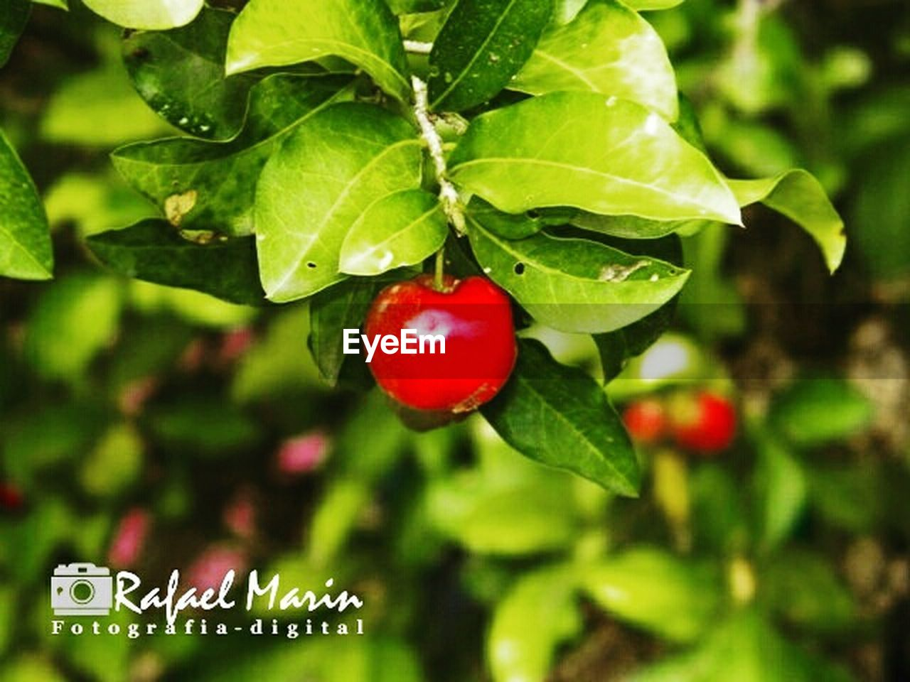 red, fruit, tree, green color, outdoors, close-up, growth, leaf, focus on foreground, food and drink, no people, nature, day, food, healthy eating, beauty in nature, branch, freshness