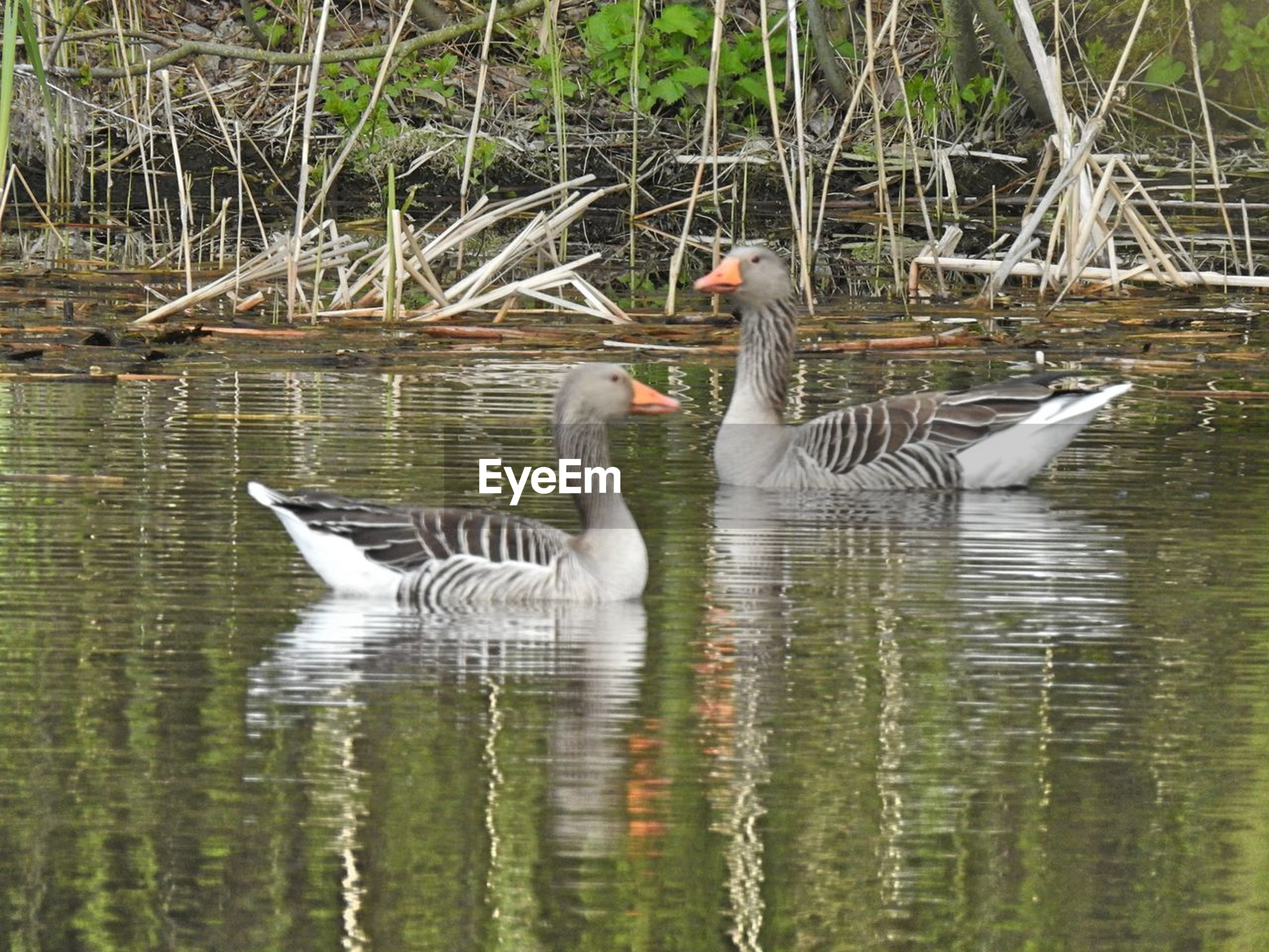 bird, animals in the wild, animal themes, lake, goose, gosling, water, wildlife, water bird, animal family, swimming, nature, geese, waterfront, greylag goose, togetherness, young bird, day, young animal, animal wildlife, outdoors, no people