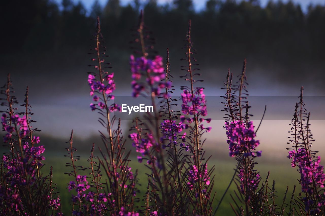 plant, beauty in nature, growth, flowering plant, flower, vulnerability, fragility, nature, purple, no people, day, freshness, close-up, outdoors, selective focus, tranquility, land, focus on foreground, sky, field
