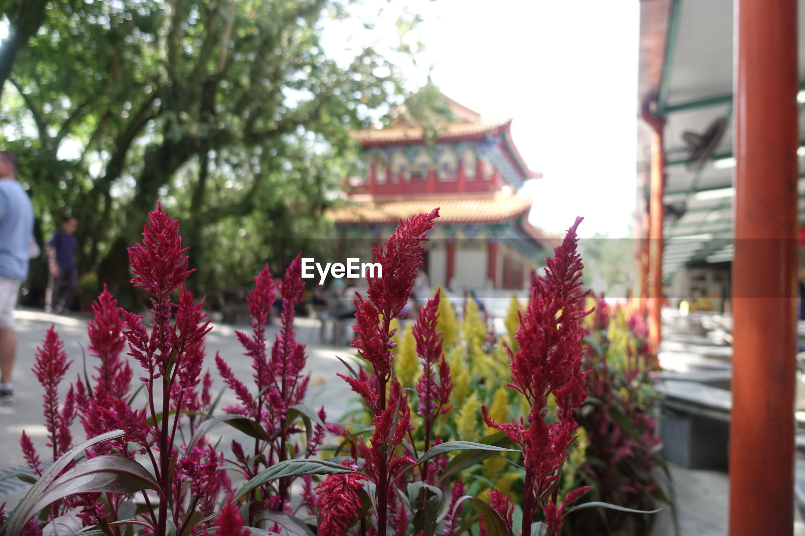 CLOSE-UP OF RED FLOWERS IN TEMPLE