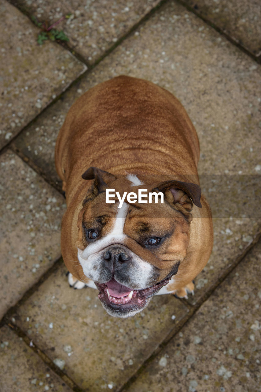 dog, canine, one animal, domestic, mammal, pets, animal themes, domestic animals, animal, high angle view, portrait, no people, looking at camera, vertebrate, brown, footpath, day, looking, close-up, outdoors, panting, animal head