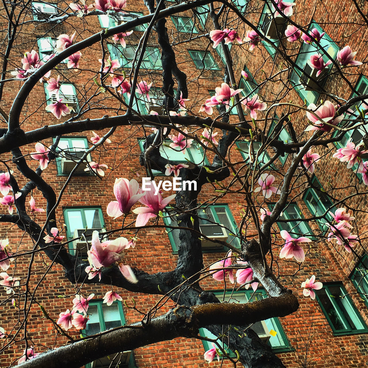 Low angle view of magnolia blossoms against building