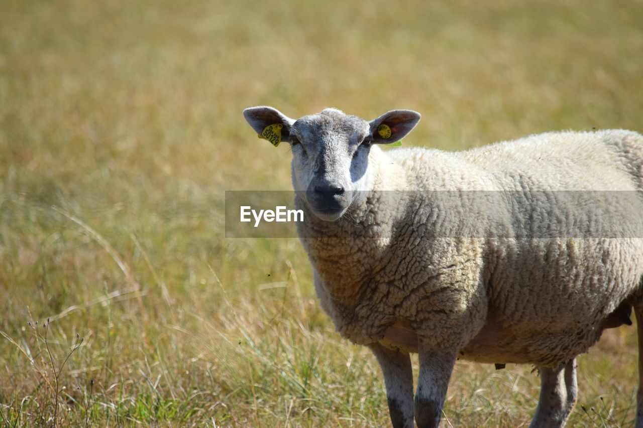 animal themes, animal, grass, mammal, livestock, domestic animals, portrait, one animal, sheep, looking at camera, standing, plant, field, vertebrate, domestic, day, land, nature, no people, focus on foreground, outdoors, herbivorous