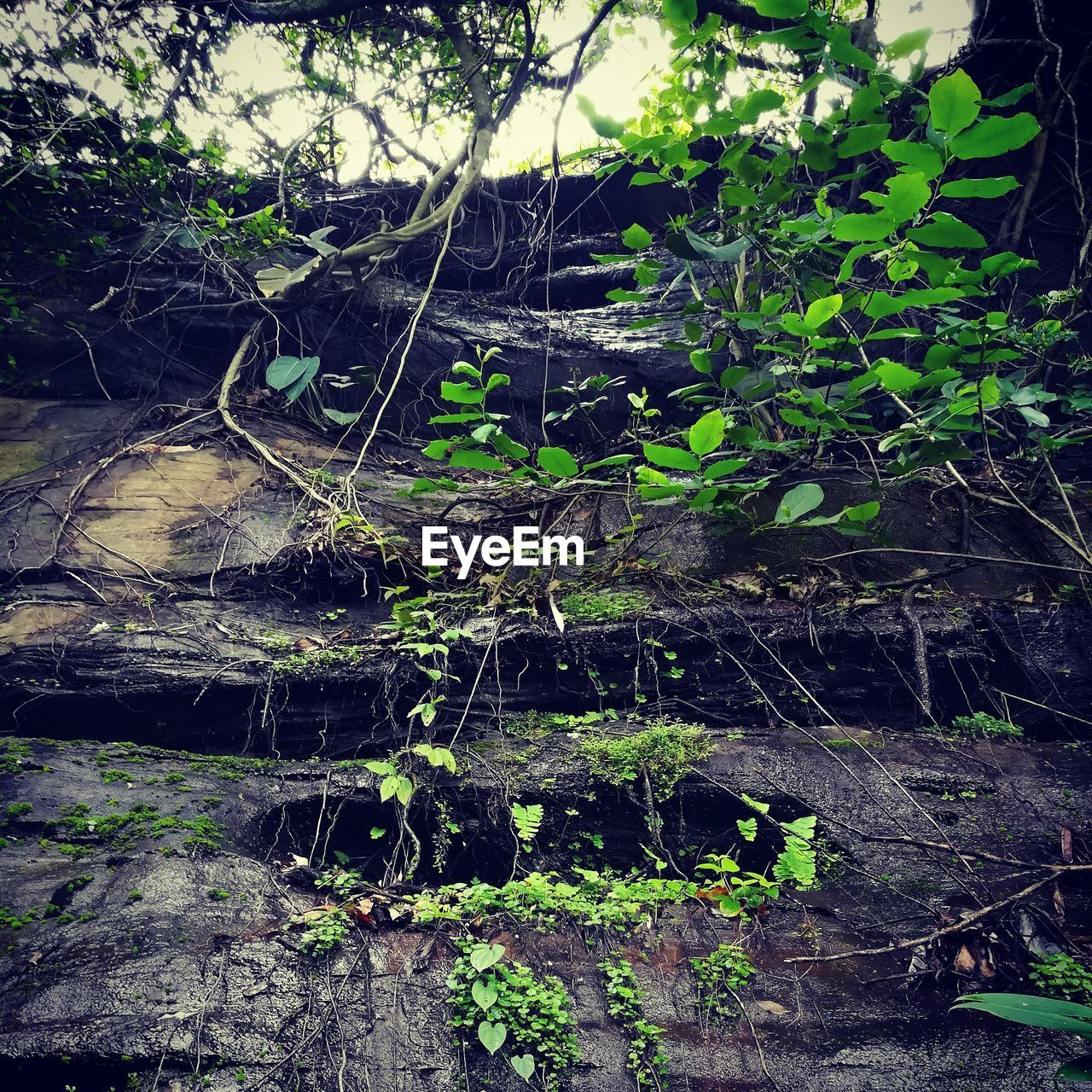 plant, tree, nature, no people, water, forest, growth, day, tranquility, plant part, land, leaf, outdoors, green color, beauty in nature, wet, rock, moss, branch, mud