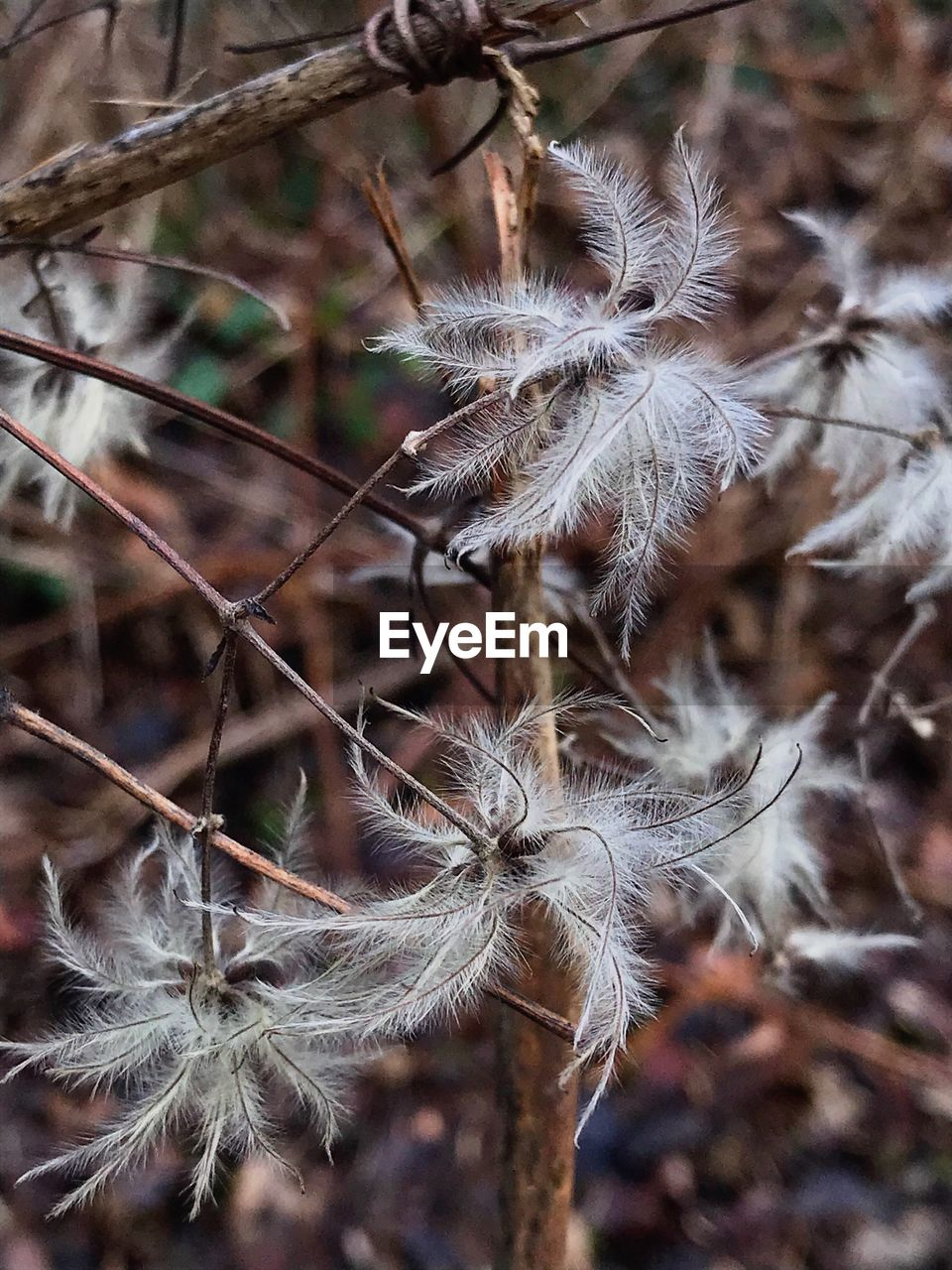plant, fragility, vulnerability, focus on foreground, close-up, flower, beauty in nature, growth, flowering plant, no people, nature, day, freshness, dandelion, softness, seed, selective focus, tranquility, dry, outdoors, dandelion seed, flower head, dead plant, wilted plant, dried