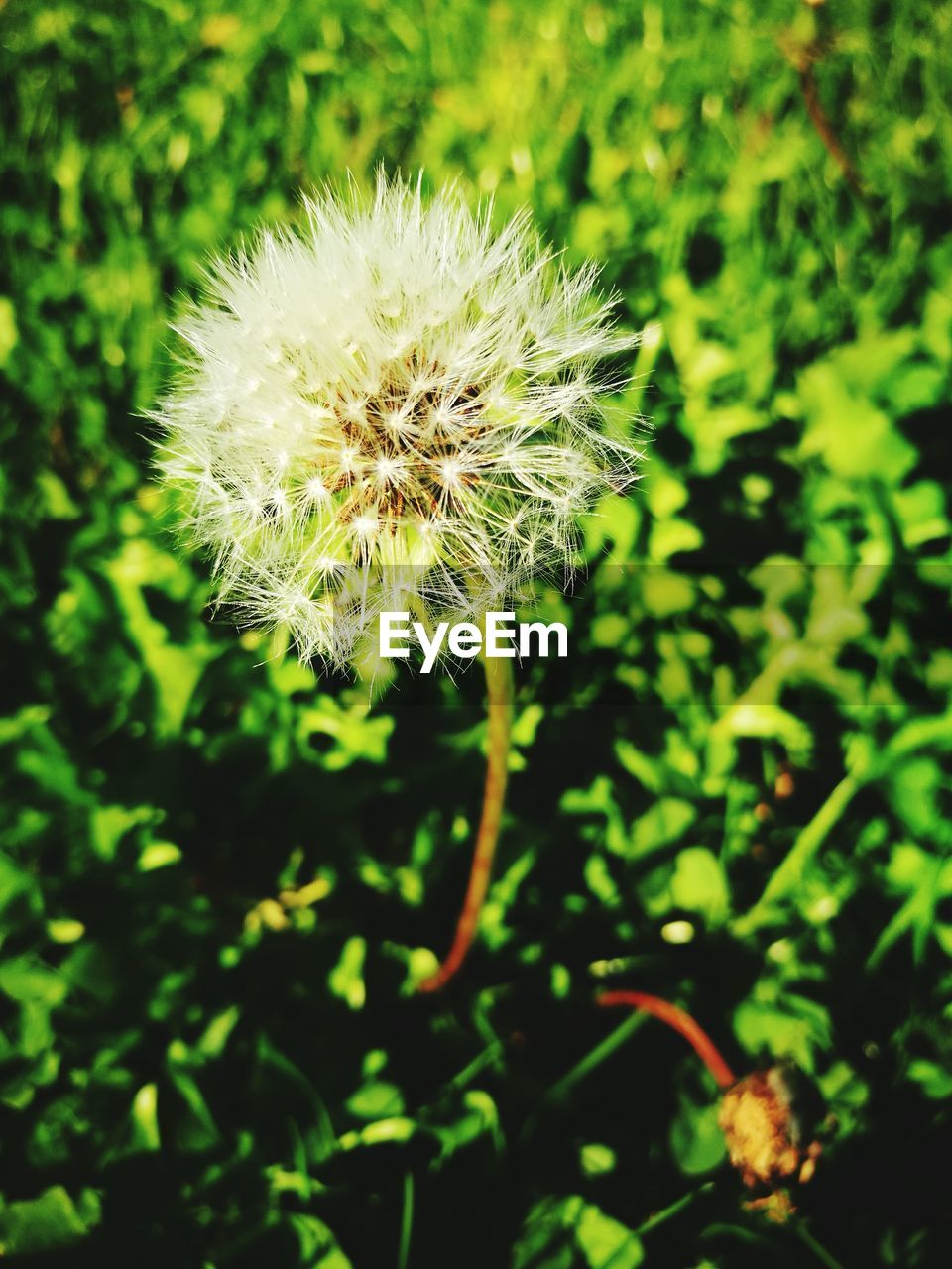 growth, nature, plant, dandelion, flower, beauty in nature, no people, fragility, outdoors, close-up, day, freshness, flower head