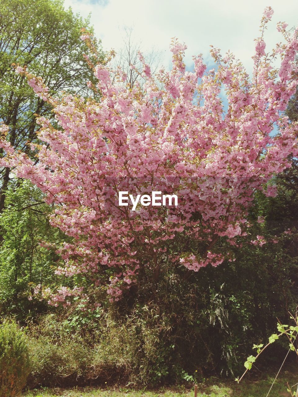 plant, flower, flowering plant, growth, beauty in nature, tree, pink color, fragility, freshness, nature, vulnerability, blossom, springtime, day, no people, branch, tranquility, outdoors, low angle view, park, cherry blossom, spring, cherry tree, lilac