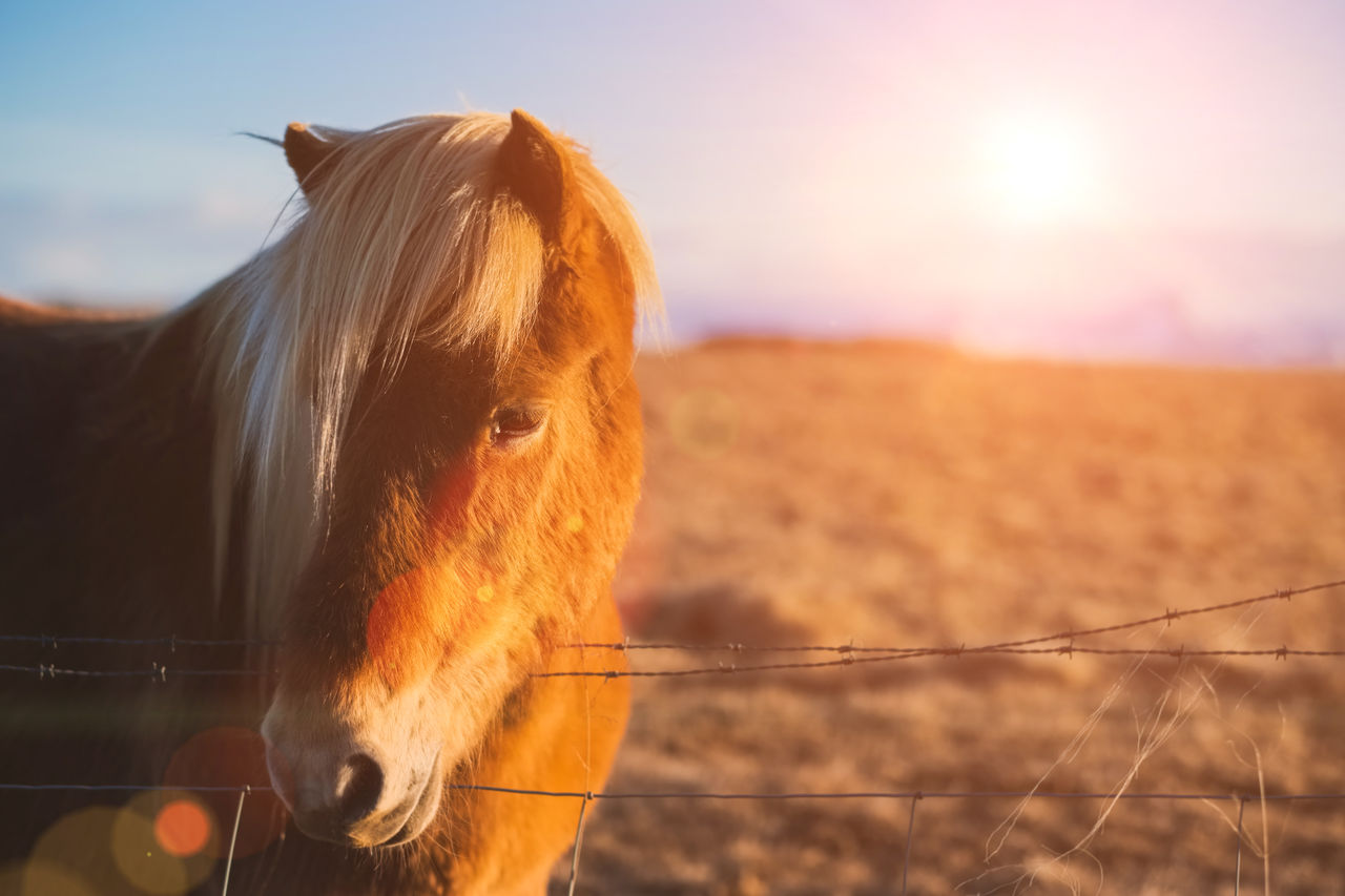 livestock, domestic, domestic animals, mammal, pets, animal themes, animal, horse, one animal, vertebrate, boundary, animal wildlife, barrier, fence, sky, focus on foreground, field, nature, land, sunset, herbivorous, no people, sun, ranch, lens flare, outdoors, animal head
