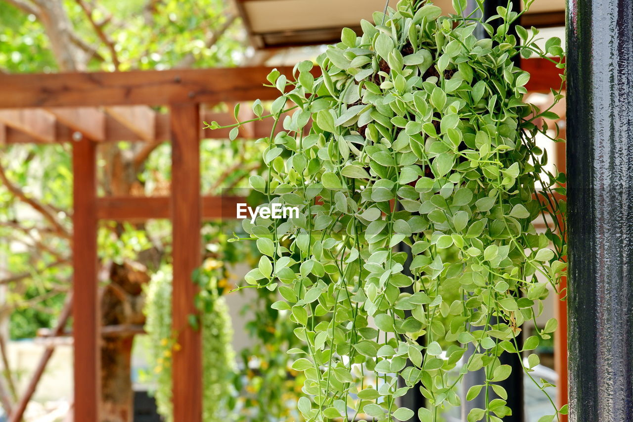 growth, green color, leaf, plant, plant part, no people, nature, beauty in nature, day, outdoors, close-up, focus on foreground, freshness, food and drink, potted plant, food, architecture, selective focus, herb, plant nursery