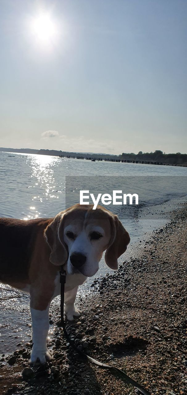 dog, canine, water, one animal, pets, domestic animals, domestic, mammal, animal themes, animal, sea, sky, vertebrate, beach, nature, land, sunlight, day, beauty in nature, horizon over water, no people, outdoors