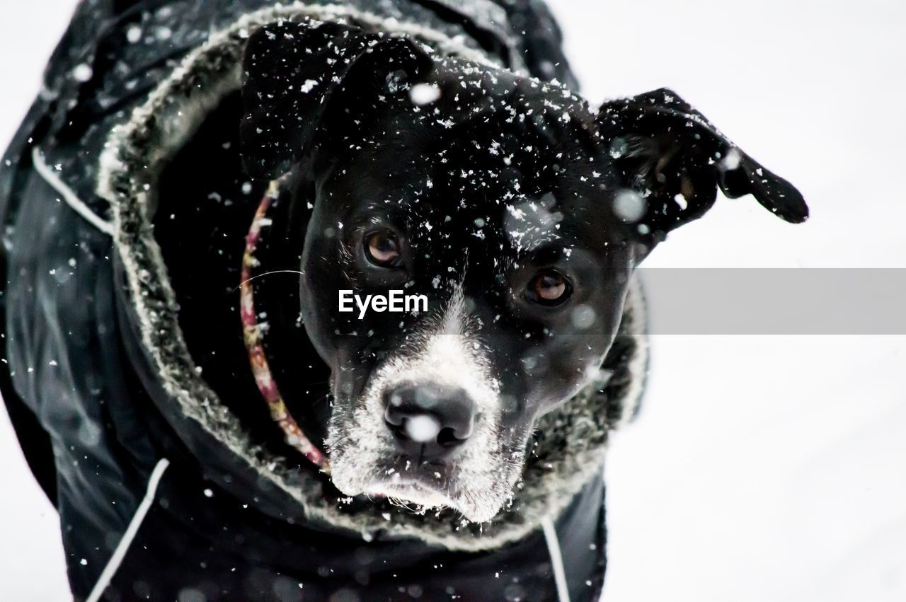pets, domestic animals, dog, domestic, canine, mammal, one animal, animal themes, animal, looking at camera, portrait, no people, close-up, vertebrate, snow, indoors, winter, cold temperature, black color, animal head, snowing