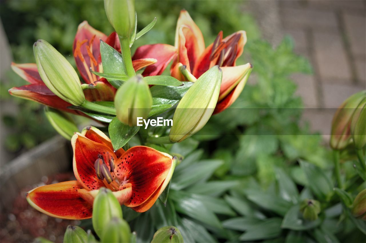 freshness, flowering plant, flower, beauty in nature, plant, fragility, vulnerability, petal, growth, flower head, inflorescence, close-up, red, nature, focus on foreground, botany, no people, green color, day, bud, outdoors, softness, flower arrangement