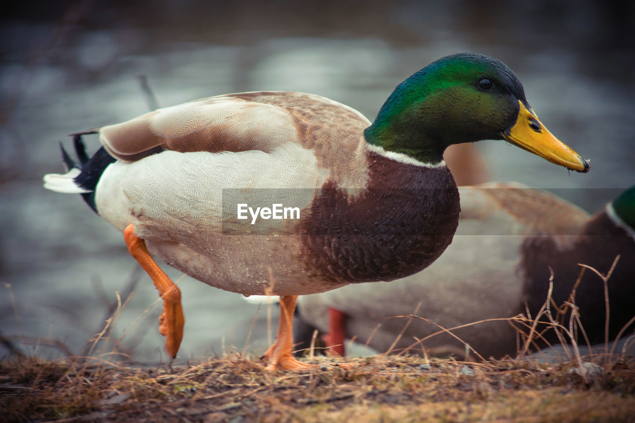bird, vertebrate, animal themes, animal wildlife, animal, animals in the wild, one animal, duck, mallard duck, day, nature, poultry, close-up, no people, focus on foreground, beak, water, lake, selective focus, outdoors