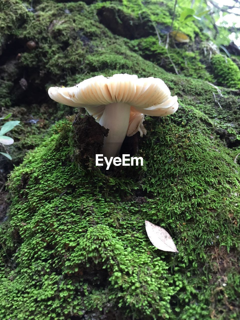 mushroom, fungus, toadstool, vegetable, growth, nature, plant, beauty in nature, green color, food, no people, close-up, edible mushroom, moss, day, land, white color, freshness, vulnerability, fragility, outdoors