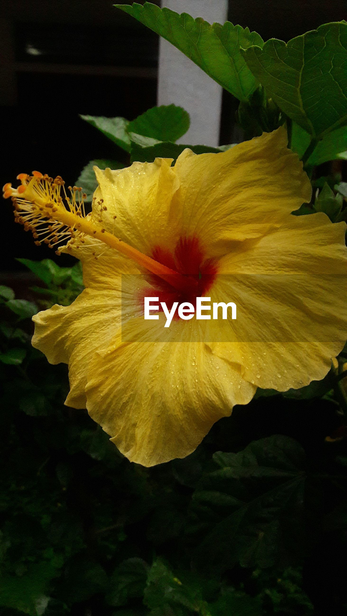 CLOSE-UP OF YELLOW HIBISCUS FLOWER BLOOMING