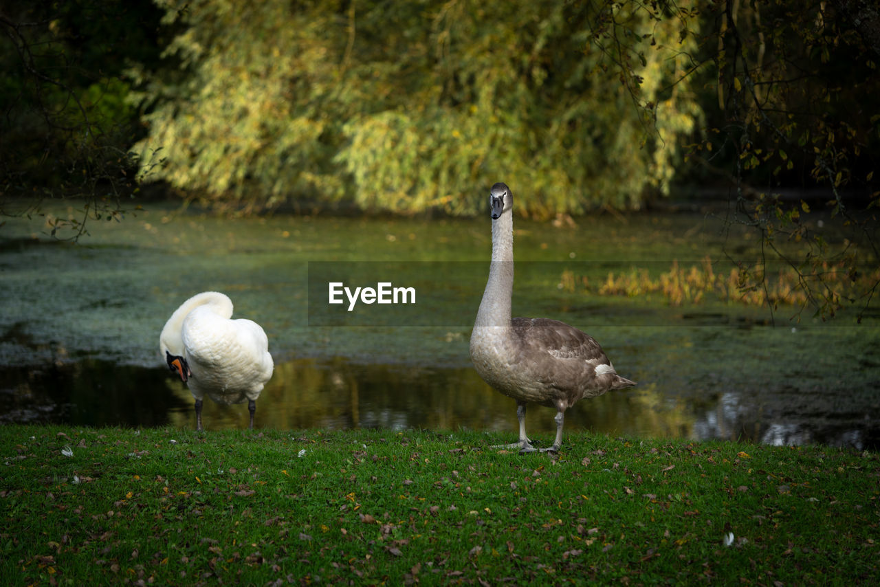 animal themes, animal, bird, group of animals, animals in the wild, animal wildlife, vertebrate, water, plant, nature, two animals, lake, no people, day, tree, reflection, standing, outdoors, cygnet