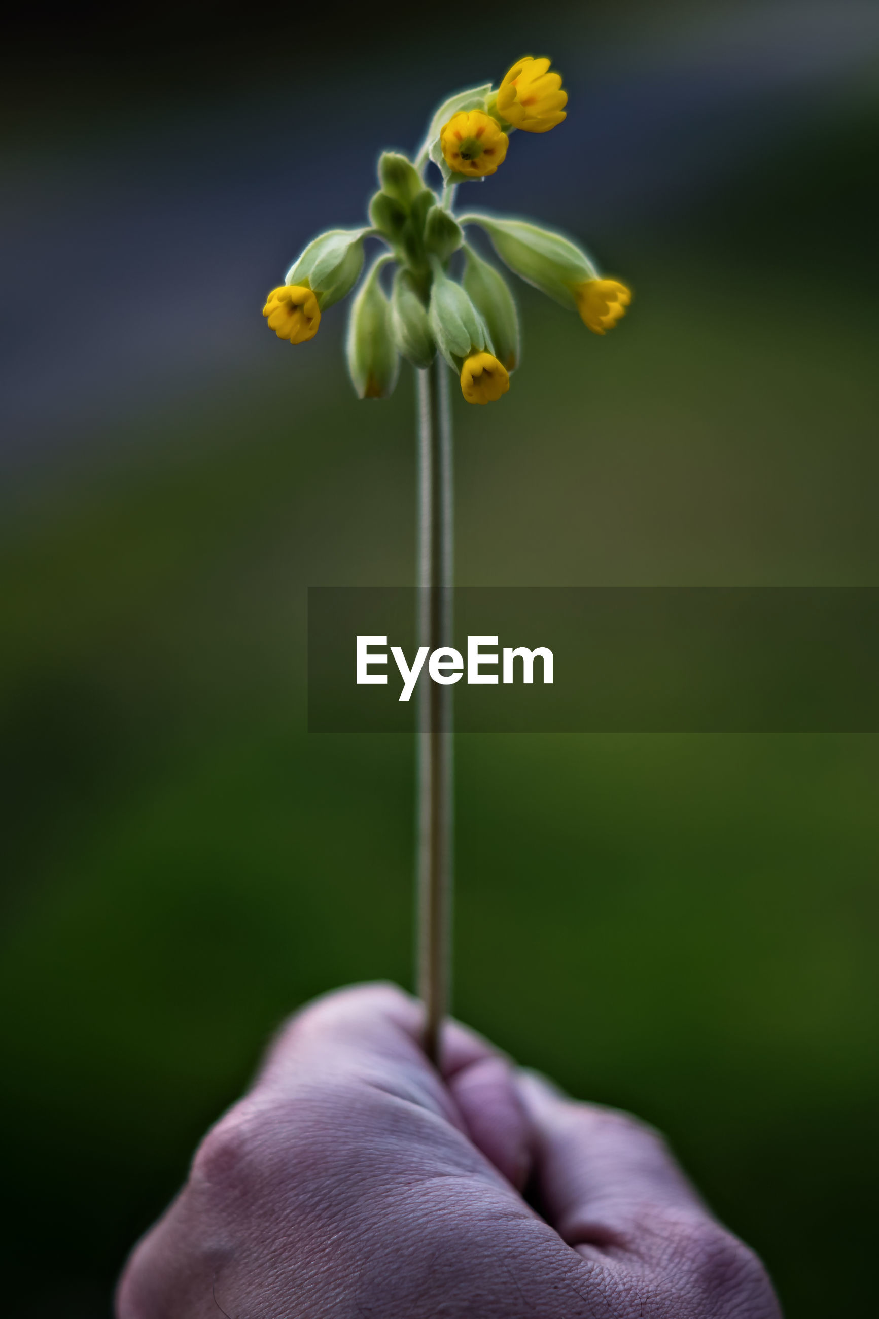 Cropped image of hand holding yellow flower