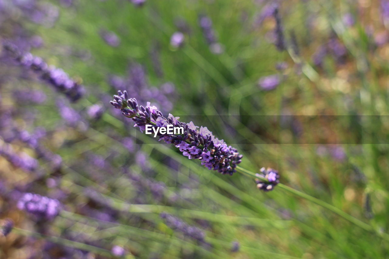 purple, nature, flower, beauty in nature, growth, fragility, plant, lavender, day, no people, freshness, outdoors, close-up, cold temperature