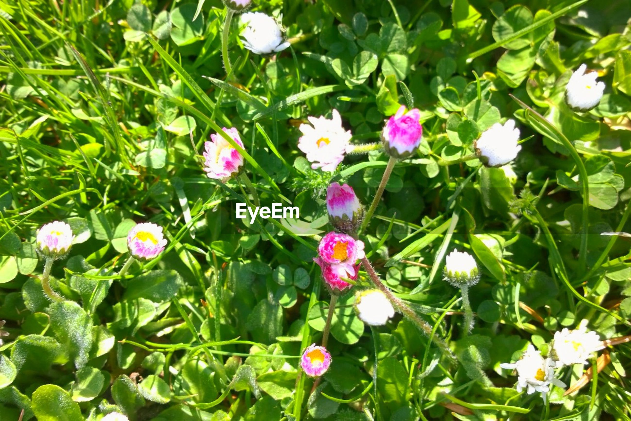 High angle view of flower blooming on field