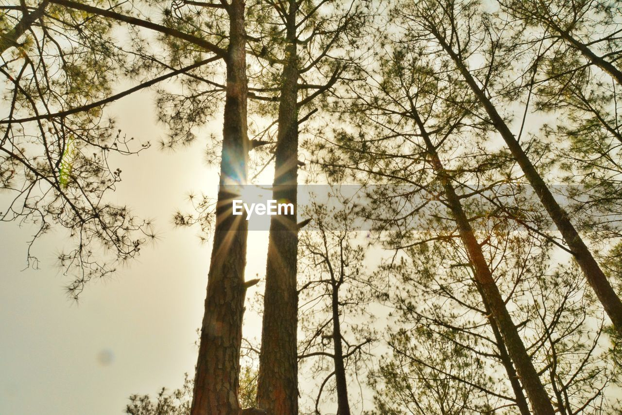 tree, plant, low angle view, lens flare, sunbeam, trunk, tree trunk, nature, sky, forest, sunlight, day, branch, sun, beauty in nature, growth, land, back lit, outdoors, woodland, streaming, tree canopy