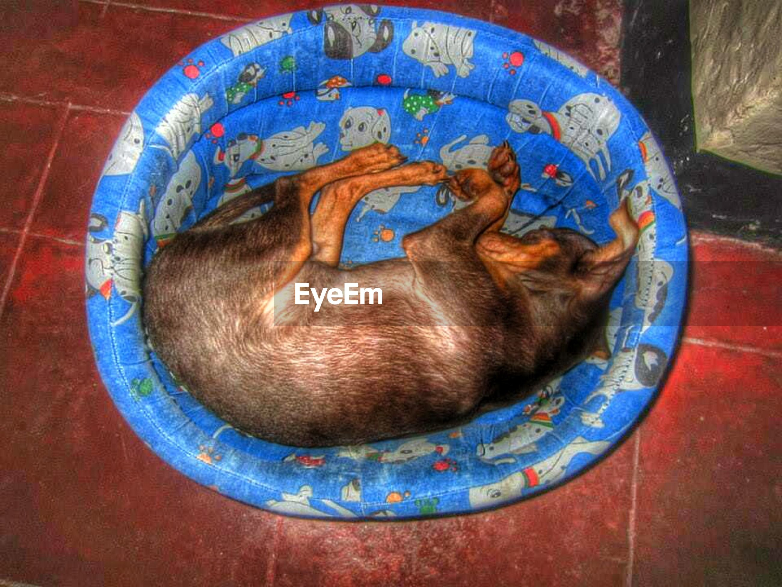 animal themes, one animal, domestic animals, pets, indoors, high angle view, blue, mammal, circle, dog, close-up, no people, directly above, day, looking at camera, portrait, art, brown, wood - material