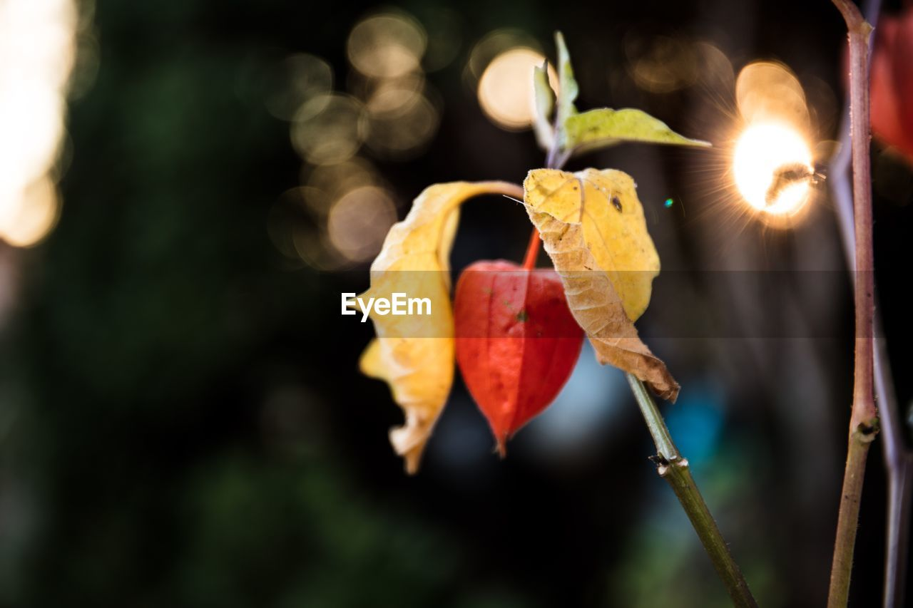 focus on foreground, close-up, plant part, leaf, plant, no people, nature, autumn, change, orange color, day, beauty in nature, outdoors, yellow, vulnerability, fragility, red, sunlight, selective focus, plant stem, leaves