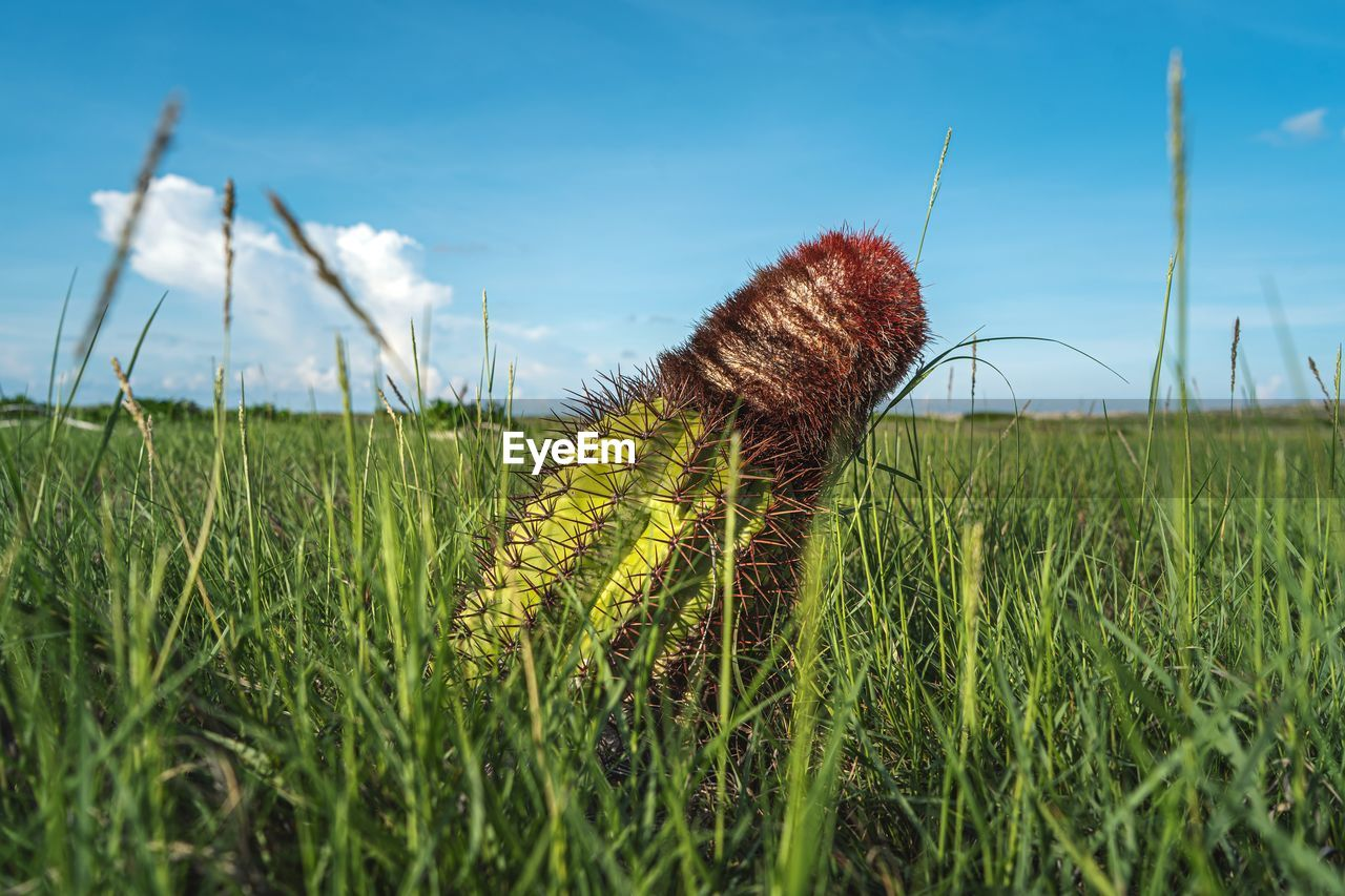 plant, growth, field, grass, land, green color, nature, sky, beauty in nature, no people, day, close-up, selective focus, agriculture, tranquility, cloud - sky, focus on foreground, landscape, rural scene, outdoors, blade of grass, spiky