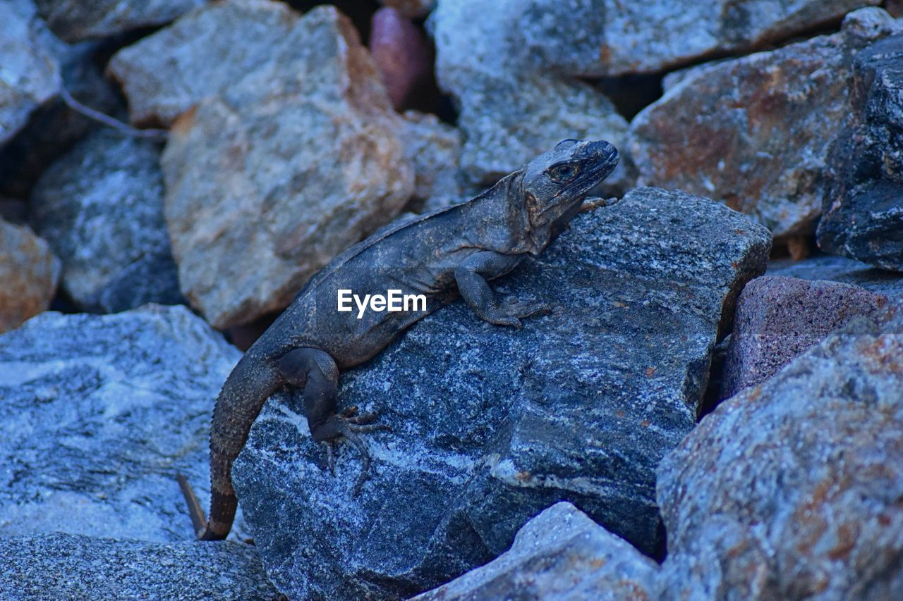 solid, animal themes, animal, animal wildlife, rock - object, lizard, rock, one animal, animals in the wild, vertebrate, reptile, no people, day, nature, iguana, textured, outdoors, focus on foreground, stone - object, close-up
