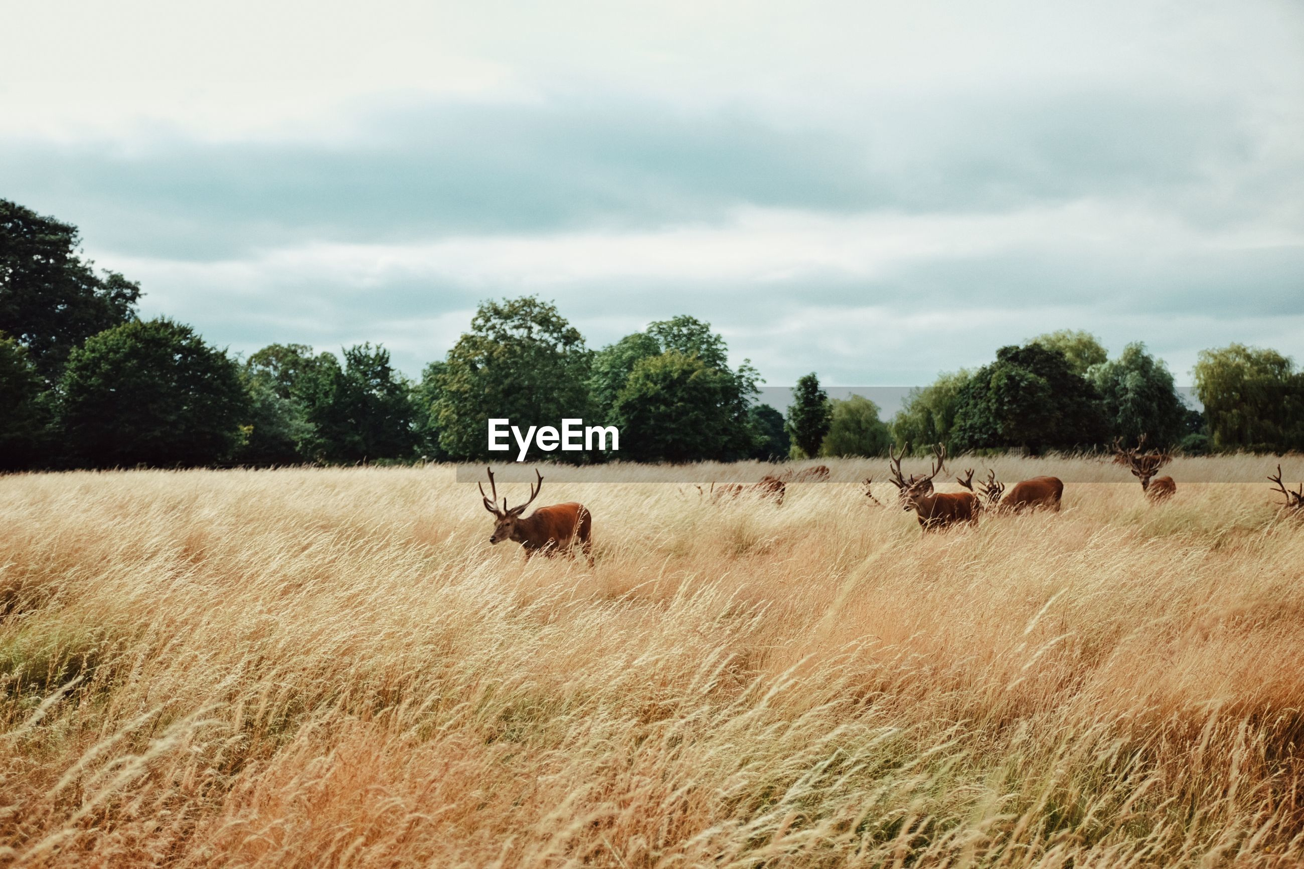 Deer on grassy field at bushy park against cloudy sky