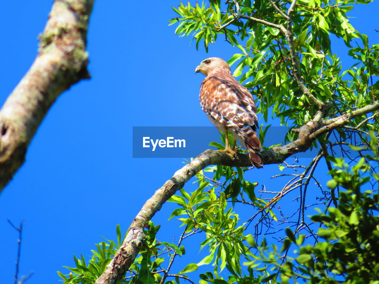 bird, plant, tree, animals in the wild, animal themes, animal, vertebrate, one animal, animal wildlife, perching, branch, low angle view, blue, nature, clear sky, sky, day, no people, sunlight, beauty in nature, eagle