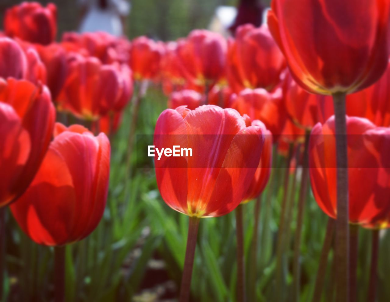 flowering plant, flower, plant, beauty in nature, vulnerability, red, fragility, freshness, growth, close-up, petal, inflorescence, flower head, tulip, field, nature, no people, day, land, selective focus