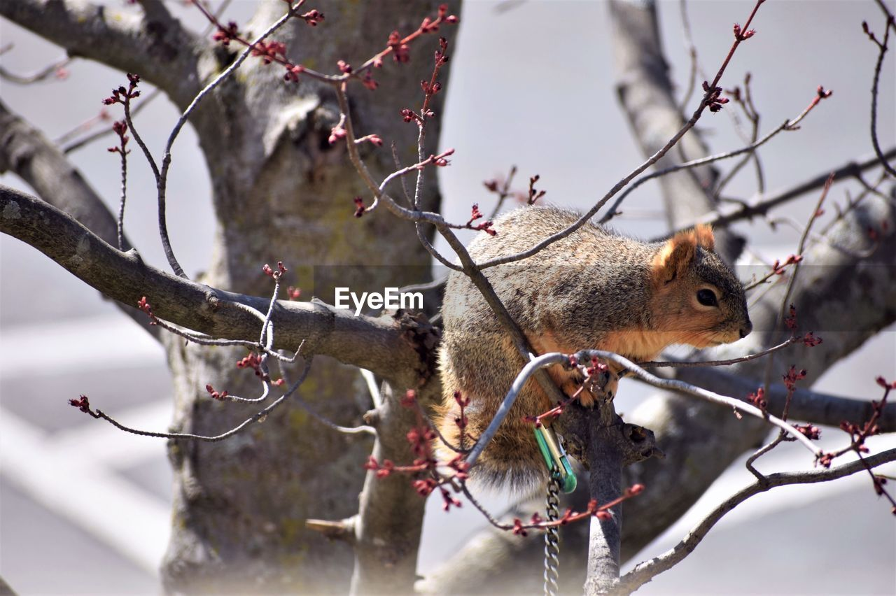 branch, tree, animal, animals in the wild, animal themes, one animal, animal wildlife, focus on foreground, vertebrate, nature, mammal, squirrel, plant, no people, day, rodent, close-up, winter, outdoors, bare tree